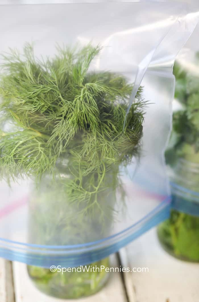 A mason jar of fresh dill covered with a freezer bag to be stored in the fridge